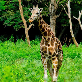 giraffe by Mohammed Arief - Animals Other
