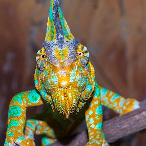 Chameleon Eyes by Lajos E - Animals Reptiles ( lizard, african, calypratus, chamaeleo, colorfull, chameleon, looking, chamaeleonidae, watching, veiled, africa, reptile, head,  )