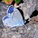 Short-tailed blue; Naranjitas rabicorta