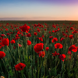 colors of summer by Lupu Radu - Landscapes Sunsets & Sunrises ( field, dobrogea, sunset, summer, poppies, spring,  )