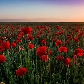 colors of summer by Lupu Radu - Landscapes Sunsets & Sunrises ( field, spring colorful flowers, sunset, dobrogea, sun coming through wildflowers, summer, poppies, spring,  )