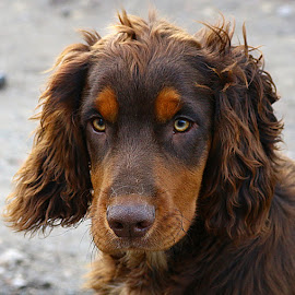 Dax by Chrissie Barrow - Animals - Dogs Portraits ( cocker spaniel, pet, male, pup, fur, ears, brown, dog, nose, tan, portrait, eyes )