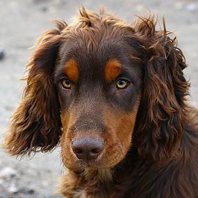 Dax by Chrissie Barrow - Animals - Dogs Portraits ( cocker spaniel, pet, male, pup, fur, ears, brown, dog, nose, tan, portrait, eyes,  )