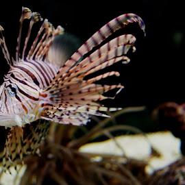 Fish eye. by Danijela Danći - Animals Fish ( fish tank, colour, poisonous, animals, fish, fish eye )
