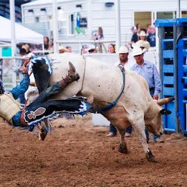 Bull rider going down by Scott Thomas - Sports & Fitness Rodeo/Bull Riding ( falling, cowboy, clown, rodeo, bull )