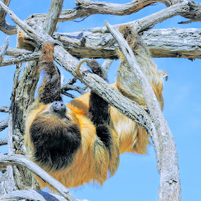 Sloth Speed by Michael Pruitt - Animals Other Mammals ( arizona, safari, sloth, sedona )