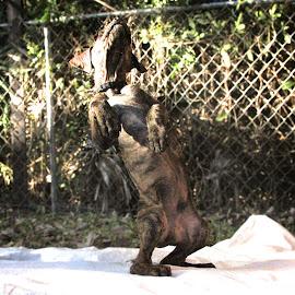 Dancing Loki by Alex  Wolf - Animals - Dogs Playing ( dancing, alex wolf, wolfproduction.us, happy, puppy, dog, plott hound )
