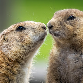 Kiss me darling  by Gabriela Ciobanu - Animals Other Mammals ( kiss, dog, prairie )