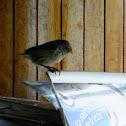 darwin's small ground finch