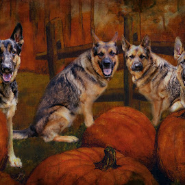 The Great Pumpkin Patch by Dawn Vance - Digital Art Animals ( animals, pumpkin patch, autumn, pets, digital art, digital photography, german shepherd )