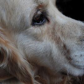 My dog by Ana Paula Filipe - Animals - Dogs Portraits ( retriever, dog, portrait, golden, eyes )