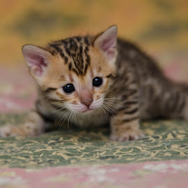 by Rob Ebersole - Animals - Cats Kittens