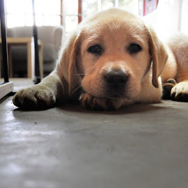 Sleepy time by Moné Ehlers - Animals - Dogs Puppies ( dogs, play, puppy, labrador, cute )
