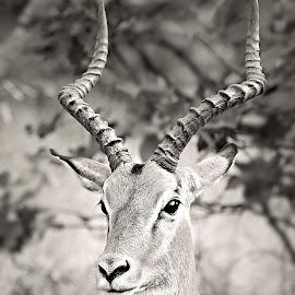 Impala Portrait by Pieter J de Villiers - Black & White Animals