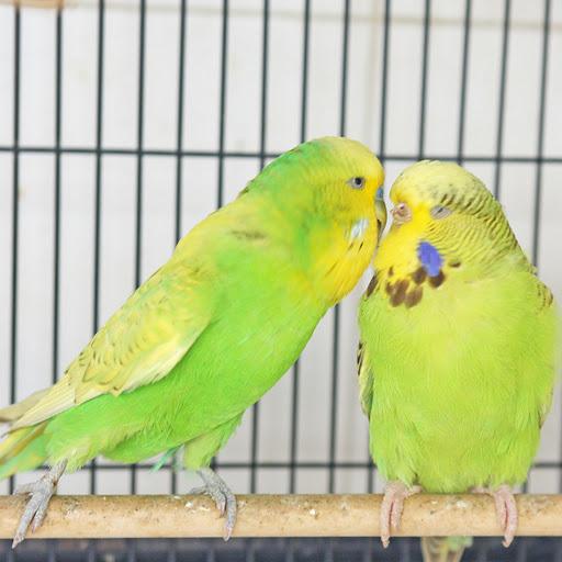 Các bệnh thường gặp của chim yến phụng