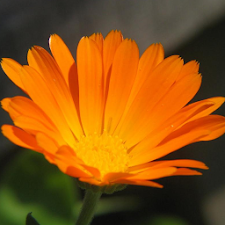 Calendula Wallpapers