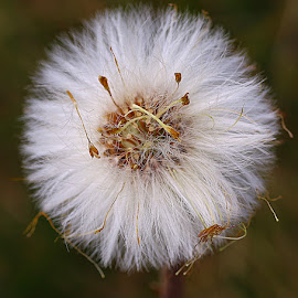 Coltsfoot Seedhead by Chrissie Barrow - Nature Up Close Other Natural Objects ( fluffy, nature, coltsfoot, white, brown, seeds, bokeh, closeup, seedhead )