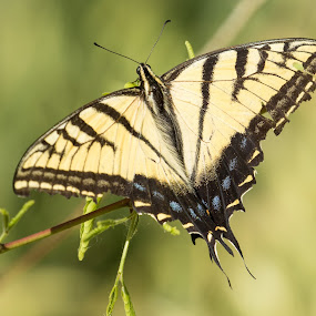 by Susan and Arwinder Nagi - Animals Insects & Spiders ( nature images, yellow butterfly, nature, nature scenes, butterfly, insects of north amercia, insects, butterfies,  )
