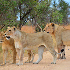 Lions on the hunt near Talamati, Kruger National Park, South Africa by Gillian Soames - Animals Lions, Tigers & Big Cats