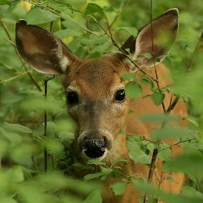deer by Michel Lapensée - Animals Other Mammals ( deer, animal )