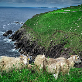 Sheep relaxing in the Dingle Peninsula  by Gerald Horgan - Animals Other ( dingle, ireland, dingle peninsula, relax, dngle, landscape, relaxing, rural, tranquil, landscape photography, sheep, tranquility, landscapes )
