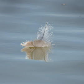 floating feather by Nick Parker - Artistic Objects Other Objects ( reflection, feather )