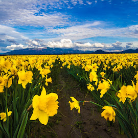 Daffodil  by Judi Kubes - Landscapes Prairies, Meadows & Fields ( clouds, mountain, sky, daffodil, blue, yellow, flowers,  )
