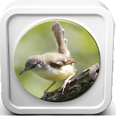 Download  Kicau Burung Ciblek  Apk
