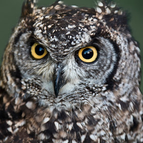 Owl by Peter Spowage - Animals Birds