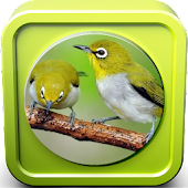 Download  Kicau Burung Pleci Juara  Apk
