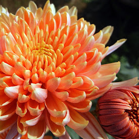One-and-a half by Pradeep Kumar - Flowers Flower Gardens