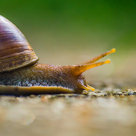 The Giant African Snail by Naveen Joyous - Animals Reptiles ( nature, wildlife, snail, reptile, close up )