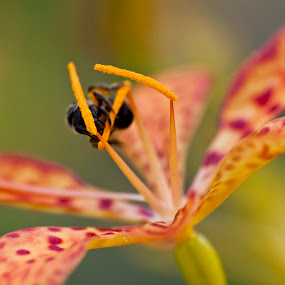 Bee and the Flower by Md Mukibul Islam - Nature Up Close Flowers - 2011-2013 ( macro, nature, bee, flower, honey, blackberry lily )