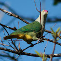 Crimson Crowned Fruit Dove