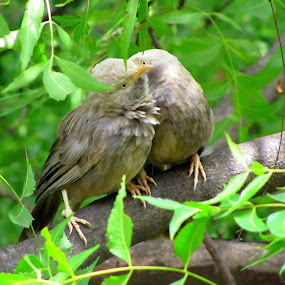 Action of Yearning-Yellow-Billed Babbler's by Krishna Kumar - Animals Birds ( love, babblers, nature, romantic, birds )