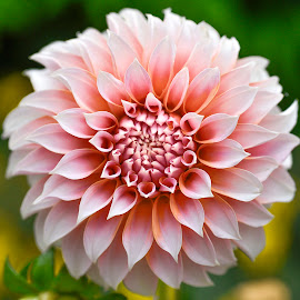 Dahlia #9 by Jim Downey - Flowers Single Flower ( orange, pink, white, dahlia, yellow )