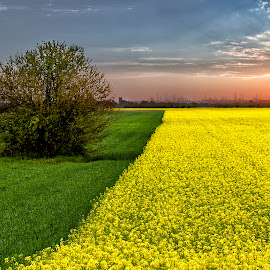 Rapefield by József Sághi - Landscapes Prairies, Meadows & Fields ( hungary, sunset )