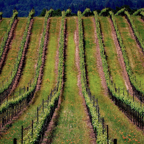Wine Country in Spring by Robin Rawlings Wechsler - Landscapes Prairies, Meadows & Fields ( spring, vineyard, seasons, wine country, patterns, sonoma, wine, grapes )