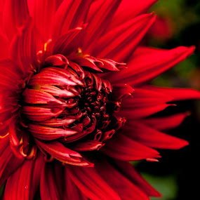 fire flower by Danny Charge - Nature Up Close Flowers - 2011-2013 ( macro, red, intense, fire, flower )