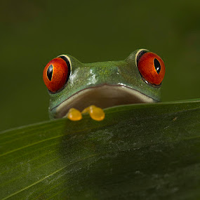 red eyed tree frog by Angi Wallace - Animals Amphibians