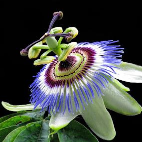 Pasiflora by Boris Buric - Flowers Single Flower (  )