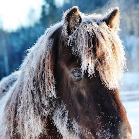 Frost by Minna Mäkinen - Animals Horses