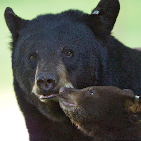 Black Bear Kiss by Herb Houghton - Animals Other Mammals ( wild, front yard, black bear, herbhoughton.com, non captive, cub )