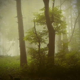 by Son G - Landscapes Forests ( foggy, mountain, nature, fog, forest )