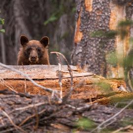Lassen Park Black Bear by Mike Lee - Animals Other Mammals ( bear, animals, nature, outdoors, black bear, wildlife, lassen national park )