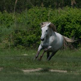 Equus caballus by Dragomir Taborin - Animals Horses
