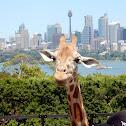 Giraffe (Captive)