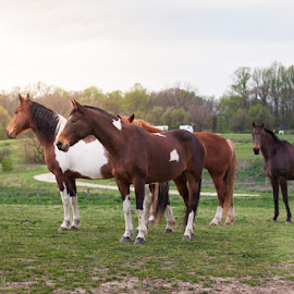 Recovery by Kristina Truluck - Animals Horses ( animals, warm, horses, beautiful, rescue, pinto, paint, nature, rimlight, sunset, herd, outdoors, maryland, light )