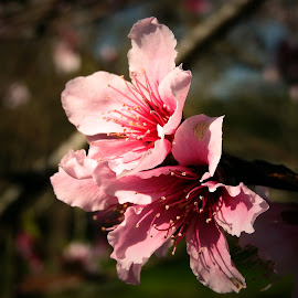 Blossoms on the Nectarine Tree by Bill Martin - Flowers Tree Blossoms ( nature, tree, delicate, pink, beauty, spring, flower, blossom )