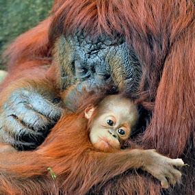 Orangutans by Tomasz Budziak - Animals Other Mammals ( animals, orangutan )